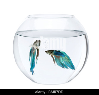 Siamois bleu poisson combat dans aquarium, Betta Splendens, in front of white background Banque D'Images