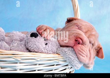 Chiot mignon ayant un sommeil confortable dans un panier Banque D'Images