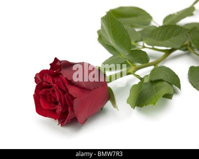 Une rose rouge couché sur un fond blanc Banque D'Images