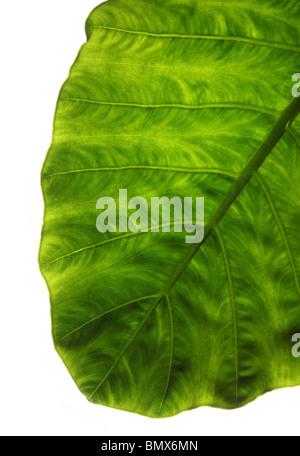 La fin d'une plante verte feuille, fond blanc Banque D'Images