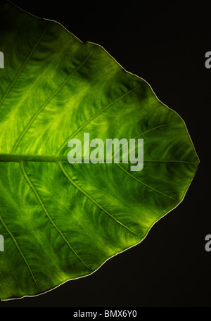 La fin d'une plante verte feuille, fond noir Banque D'Images