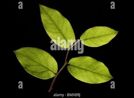 Quatre feuilles de plantes vertes sur une branche, fond noir Banque D'Images