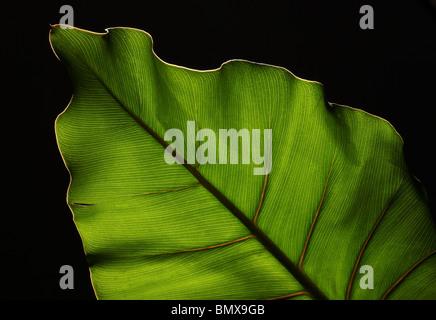 Des feuilles des plantes vertes avec une structure forte sur un fond noir Banque D'Images