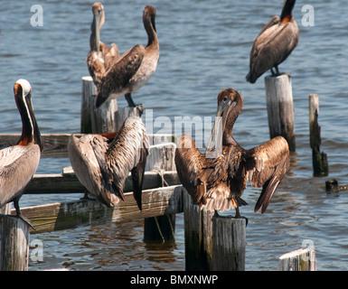Le Pélican brun, certains recouverts d'huile provenant de la marée noire Deepwater Horizon de BP, s'asseoir sur Banque D'Images