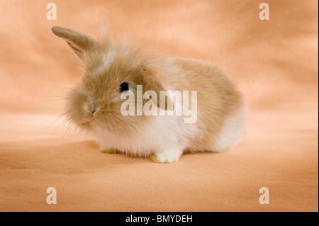 Jeune lapin nain à tête de lion