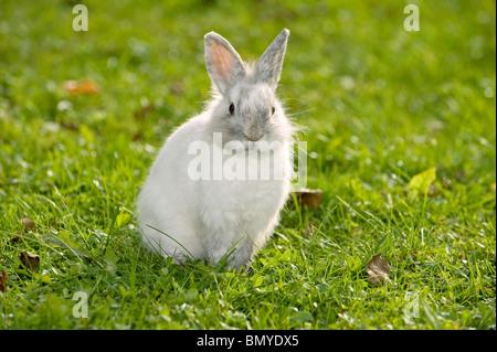 Jeune lapin nain à tête de lion meadow