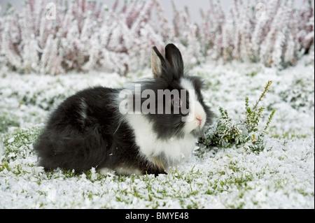 Jeune lapin nain à tête de lion snow