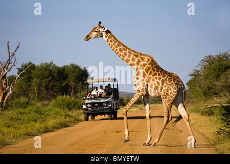 Girafe (Giraffa camelopardalis) traverser une route en face d'un véhicule de safari. Madikwe Game Reserve Banque D'Images