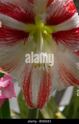 Oriental en fleurs Amaryllis belladonna Lily flower close-up macro closeup détail afficher aucune personne n'a pas Banque D'Images
