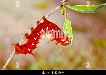 Ocala, FL - Mai 2009 - Imperial (Eacles imperialis) Caterpillar
