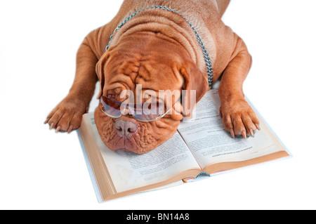 Dogue de Bordeaux est d'avoir une pause après la lecture d'un livre Banque D'Images