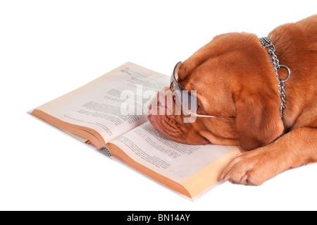 Dogue de Bordeaux est d'avoir une pause après avoir lu ses leçons Banque D'Images
