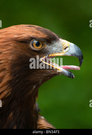 Golden Eagle de près. Banque D'Images