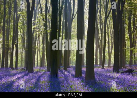 Le soleil qui rayonne à travers les arbres au printemps sur un tapis de jacinthes des bois à l'étage Banque D'Images