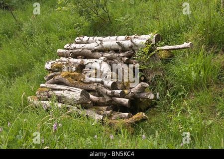Pile de bois (grumes de bouleau argenté) laissés à pourrir et encourager ainsi la faune. Banque D'Images