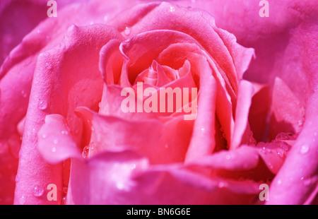 Close up of pink rose en fleur pleine avec de l'eau gouttes Banque D'Images