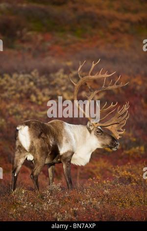 Caribou mâle sur la toundra d'Automne dans le parc national Denali, Alaska