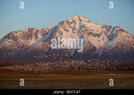 Un grand troupeau d'Oies des neiges décoller d'un champ près de Springer Loop Road à Palmer, Alaska Banque D'Images