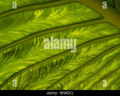 Des feuilles de macro shot. La lumière du soleil brillant à travers une feuille végétale, montrant des motifs complexes, Banque D'Images