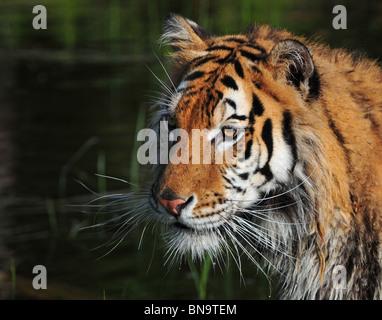 Tête de tigre de Sibérie Banque D'Images