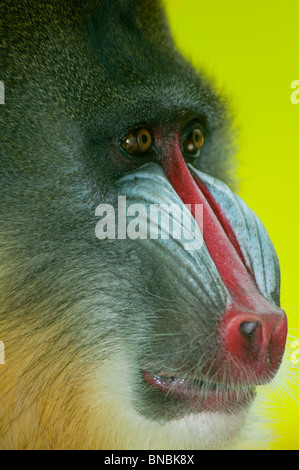 Mandrill babouin jusqu'fermer Banque D'Images