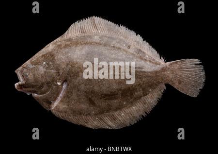 Barbue (Scophthalmus rhombus) une espèce de poisson plat dans la famille turbot Banque D'Images
