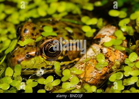 Close up d'un visage et des yeux de grenouille verte flottant dans un étang parmi les mauvaises herbes canard