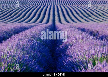 Champ de lavande sur le Plateau de Valensole, Provence France Banque D'Images