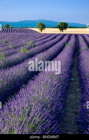 Le long des champs de lavande du Plateau de Valensole en Provence France Banque D'Images