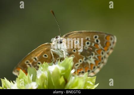 Le sud de l'Argus Brun (Aricia cramera)