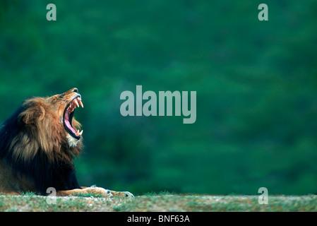 Vue d'un lion (Panthera leo) portant sur le terrain, Kruger National Park, la province de Mpumalanga, Afrique du Banque D'Images