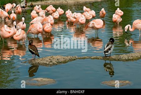 Un groupe de flamants roses chiliens echelle montrant leur reflet dans l'eau. Deux plongeurs sont aussi dans le Banque D'Images