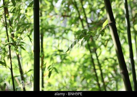 Forêt de bambou vert vif Banque D'Images