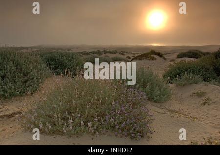 Oceano Usa Californie à Oceano Dunes Sunset construite par Crépuscule Fleurs Paysage Nature Paysage de dunes de Banque D'Images