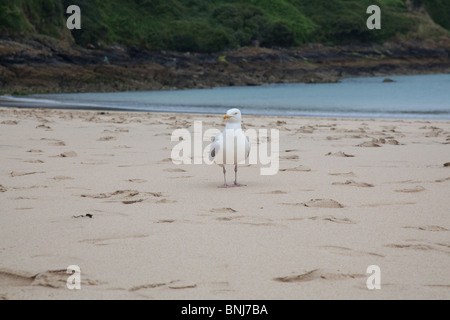 Seagull sur Carbis Bay Beach , Cornwall, Angleterre, Royaume-Uni. Banque D'Images