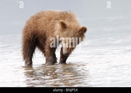 Stock photo d'un ours brun d'Alaska cub watching pour les palourdes à marée basse. Banque D'Images