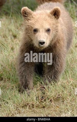 Stock photo libre de droit d'un ourson brun côtières de l'Alaska. Banque D'Images