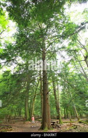 Un randonneur s'arrête pour admirer un grand arbre de la pruche dans Cathédrale State Park, Brookside, West Virginia, Banque D'Images