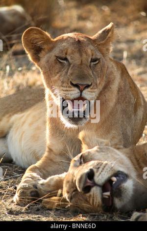 deux lionnes panthera leo couchage purros kaokoland kunene namibie banque d 39 images photo. Black Bedroom Furniture Sets. Home Design Ideas