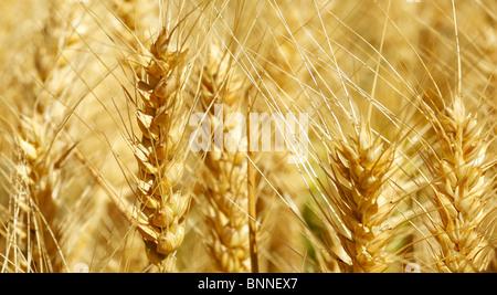 Le blé qui est prêt pour la récolte Banque D'Images
