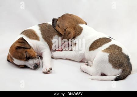 Jack Russel terrier chiots sur fond blanc Banque D'Images