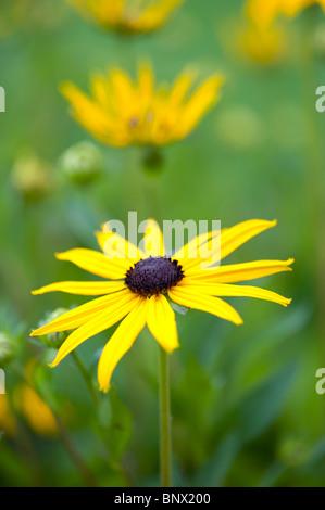 Rudbeckia fulgida var sullivantii 'Goldsturm'. Black Eyed Susan flower Banque D'Images