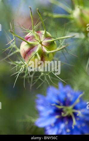 Nigella damascena. Love-dans-un-mist les coupelles de semences et dessin de fleurs