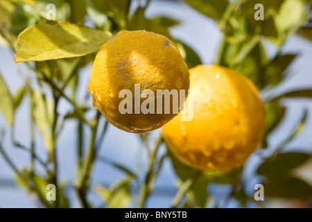 Les oranges growing on tree