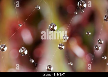 Les gouttelettes d'eau sur une toile d'araignée. Banque D'Images