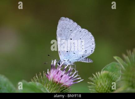 Holly, Celastrina argiolus Papillon Bleu, Lycaenidae Banque D'Images