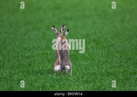 Les lièvres bruns d'Europe (Lepus europaeus) / boxe combats au champ pendant la saison de reproduction, Allemagne Banque D'Images