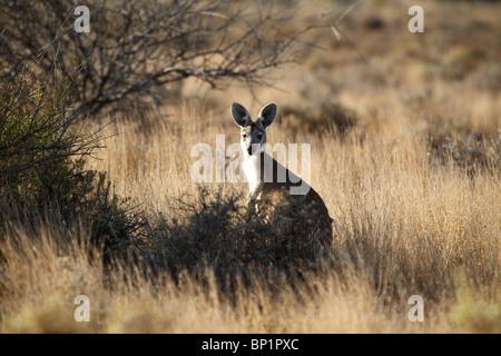 Un kangourou assis dans le Bush Australien, Coral Bay, Australie Banque D'Images