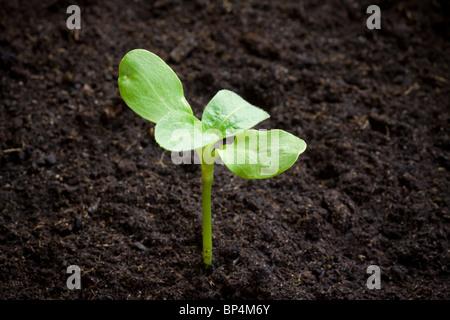 Les nouveaux semis provenant du sol. Profondeur de champ avec l'espace pour copier. Banque D'Images