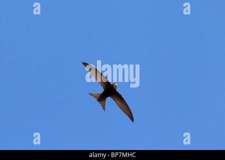 Swift Apus apus (commune) en vol sur fond de ciel bleu Banque D'Images
